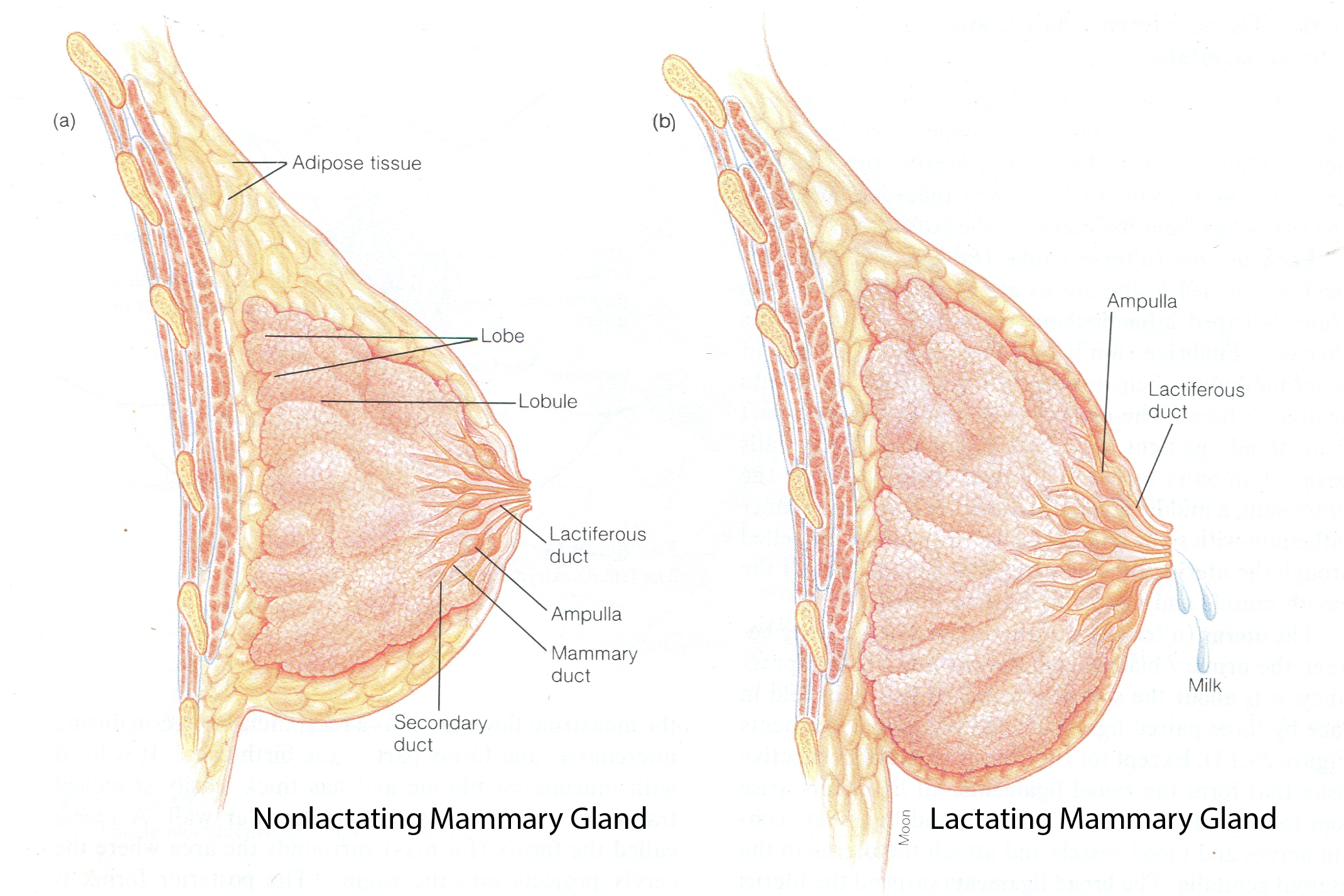 EVOLUTION AND MAMMARY GLANDS |