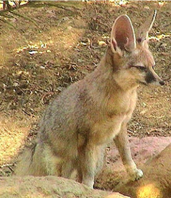 HEROD THAT FOX (ἀλώπηξ – alopex) |